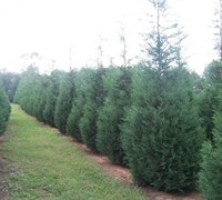 Murray Leyland Cypress Picture