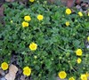 Cinquefoil