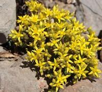 Gold Moss Sedum Picture