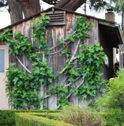 Fig Tree Espalier