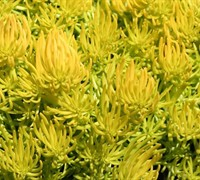 Angelina Sedum Picture