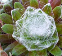 Cobweb Buttons Hen And Chicks Picture