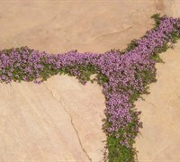 Elfin Creeping Thyme Picture