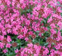 Pink Chintz Thyme Picture