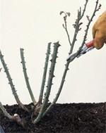 Pruning-Rose-Winter