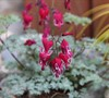 Dicentra 'Burning Hearts'