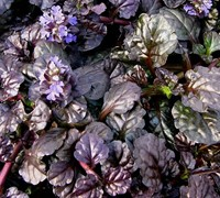 Black Scallop Ajuga Picture