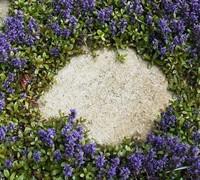 Blueberry Muffin Ajuga Picture