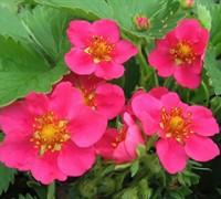 Lipstick Strawberry Plant Picture