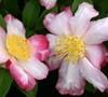 Rainbow Camellia