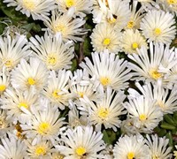 White Nugget Ice Plant Picture