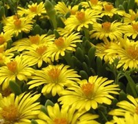 Yellow Hardy Ice Plant Picture