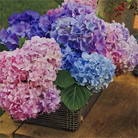 Hydrangea French Collection