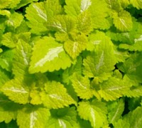 Lemon Frost Lamium Picture