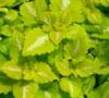 Lemon Frost Lamium