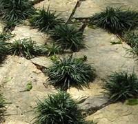Kyoto Dwarf Mondo Grass Picture