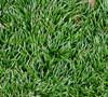 Kyoto Dwarf Mondo Grass