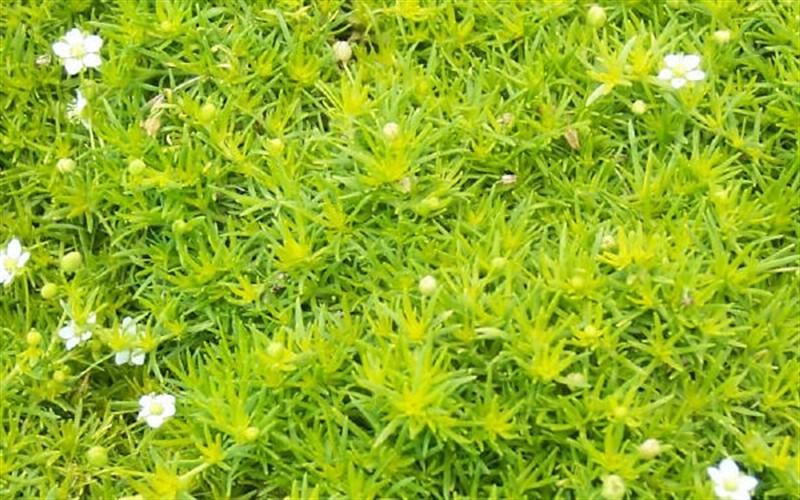 Scotch Moss Picture