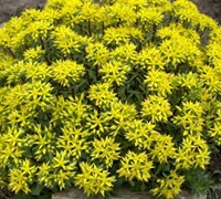 Weihenstephaner Gold Sedum Picture
