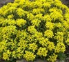 Weihenstephaner Gold Sedum