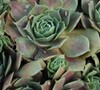 Krebs 2 Hen And Chicks