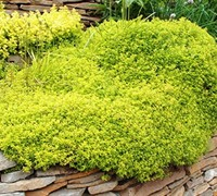 Archer's Gold Thyme Picture