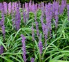 Royal Purple Liriope