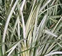 Silver Mist Variegated Mondo Grass Picture