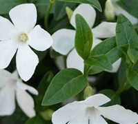White Vinca Minor Picture