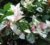 Snow N Summer Asian Jasmine