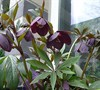 Metallic Blue Lady Helleborus