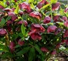 Red Lady Helleborus