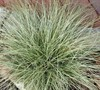 Amazon Mist Carex