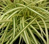 Evergold Carex