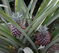 Pineapple Plant Picture