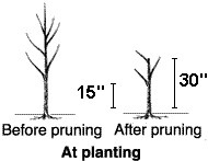 Pruning Container-Grown Peach Tree