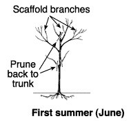 Peach Tree Scaffold Branches