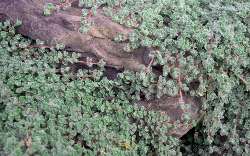 Woolly Thyme Picture