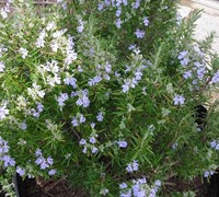 Tuscan Blue Rosemary Picture