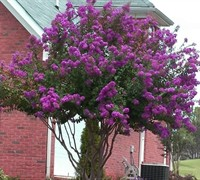 Catawba Crape Myrtle Picture