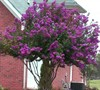 Catawba Crape Myrtle