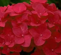 Cardinal Hydrangea Picture