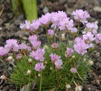 Victor Reiter Sea Thrift Picture