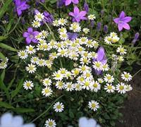 Bellium Miniature Daisy Picture