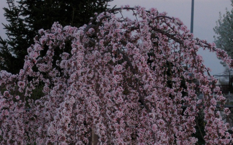 Snow Fountain Weeping Cherry Picture