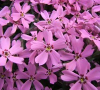 Pink Creeping Phlox Picture