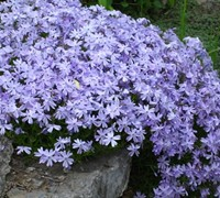 Blue Creeping Phlox Picture