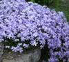 Blue Creeping Phlox
