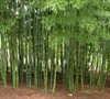 Timber Bamboo