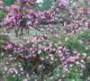 Rosa Multiflora Platyphylla, Seven Sisters